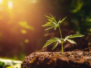 haru大麻文章